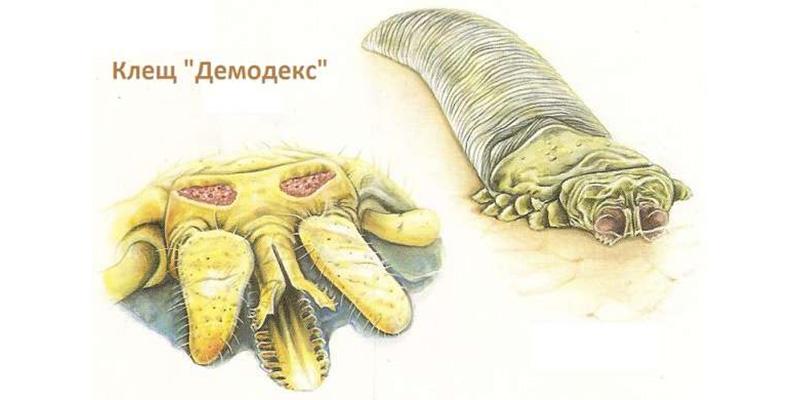 Диагностика и лечение демодекоза собак (Demodex)