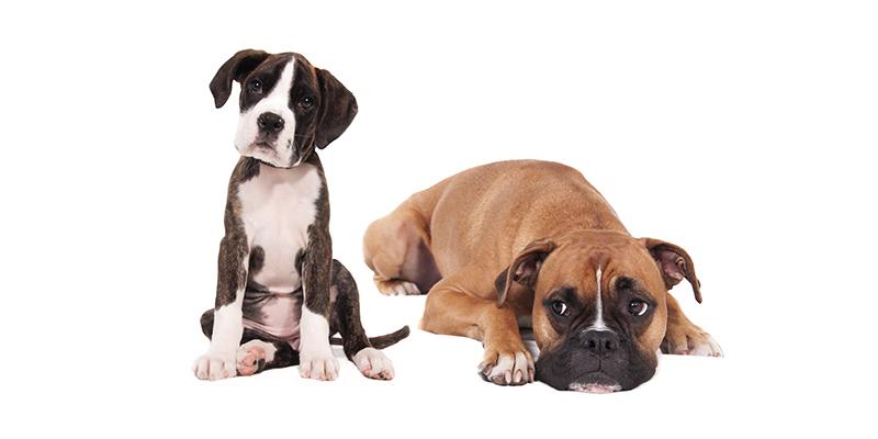 Предрасположенность к хирургическим патологиям у различных пород собак