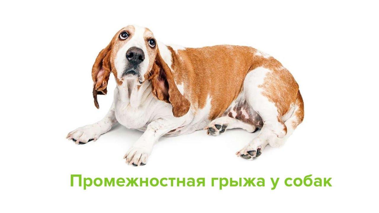 Симптомы и лечение промежностной грыжы у собак